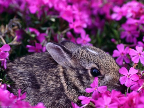 Story of a Cottontail Rabbit