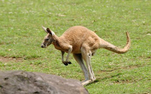 How Kangaroo Got His Tail